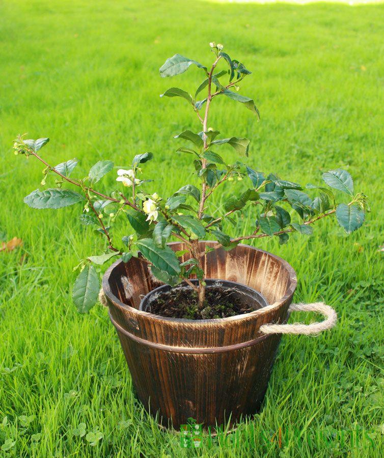 Large Tea Plant