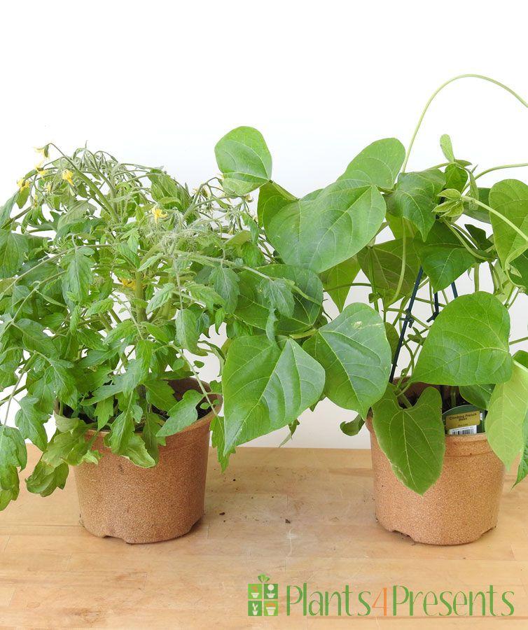 Veg plants pair