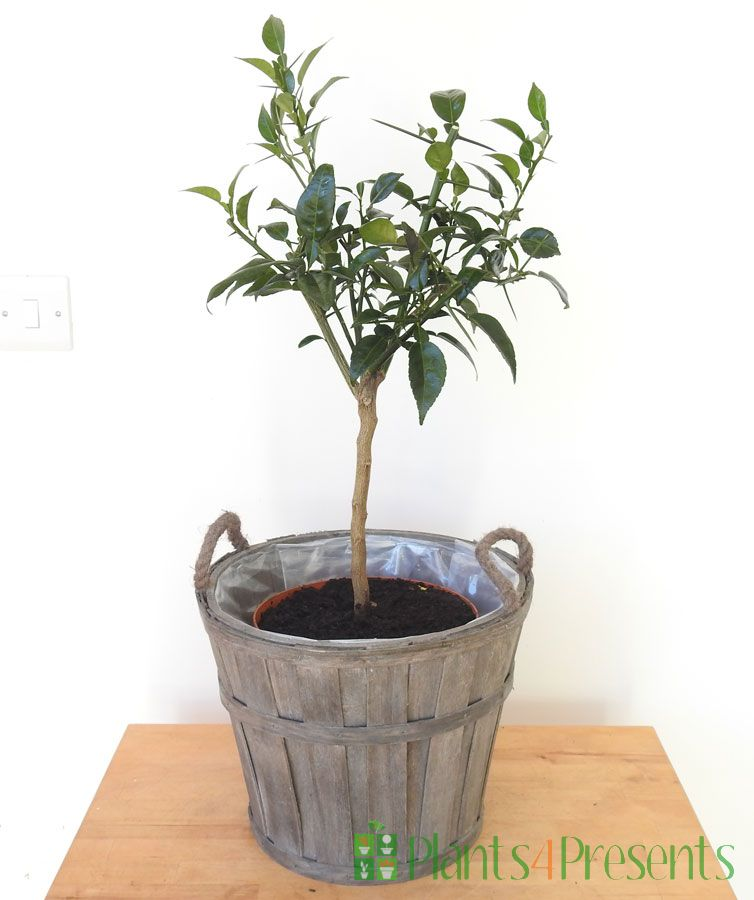 Yuzu tree