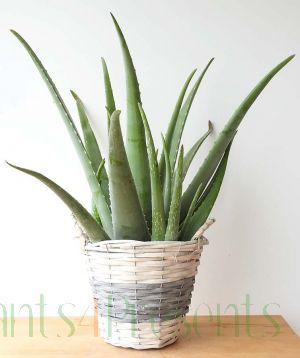 Aloe Vera plant in a biopot