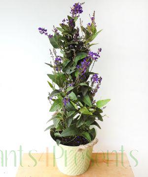 Australian Lilac
