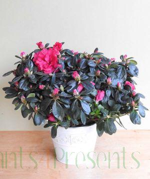 Pink Azalea Gift Plant