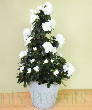 White Azalea pyramid
