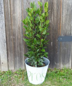 Bay Tree in Metal Pail