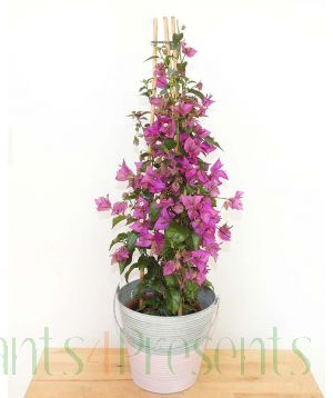 large bougainvillea