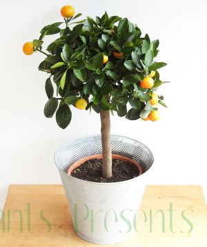 Large Calamondin