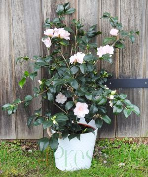 Giant Camellia flowering