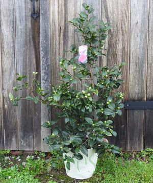 Giant Camellia Donation