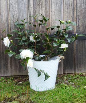 White Camellia Large