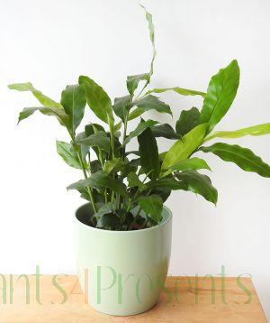Cardamom plant 2020