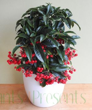 Christmas Berry plant