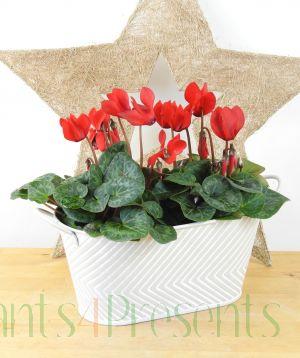 Cyclamen Planter