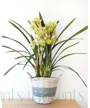 Cymbidium Lime