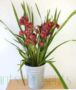 Cymbidium Red