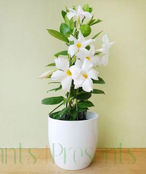 White Dipladenia