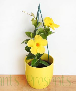 Yellow Dipladenia