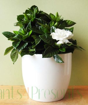 Gardenia plants delivered