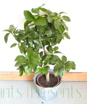 Grapefruit Tree Gift