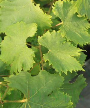 Lakemont vine