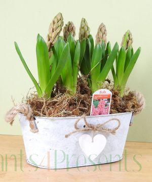 Pink Hyacinths Vintage