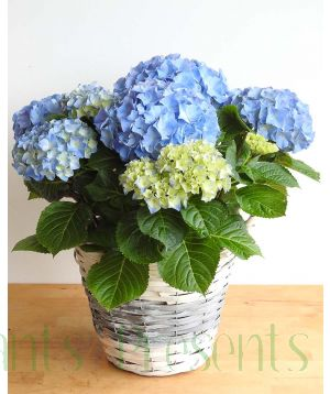 Blue Hyrangea