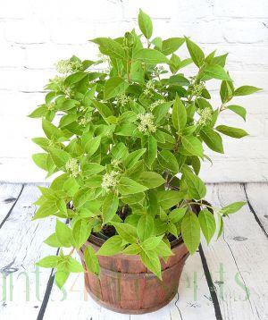 Woodland Hydrangea Prim White