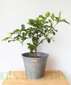 Kaffir Lime Ministem