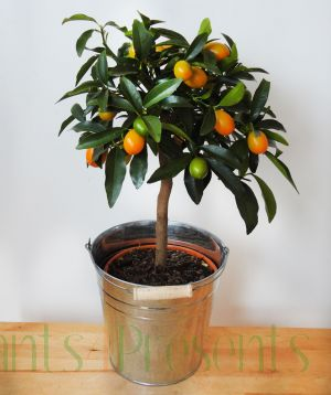 Large Kumquat