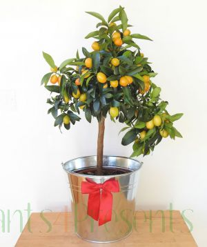 Large Kumquat Tree