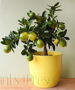 Lara Lemon (Limequat Hybrid)