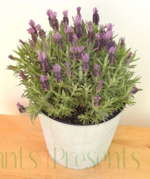 Lavender Stoechas 2021