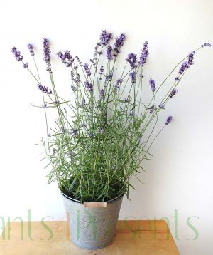 Lavender 2019