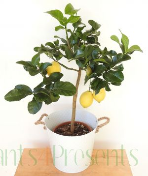 Large Lemon Tree