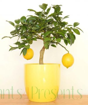 Lemon Bush