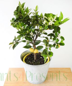 Lemon Pursha