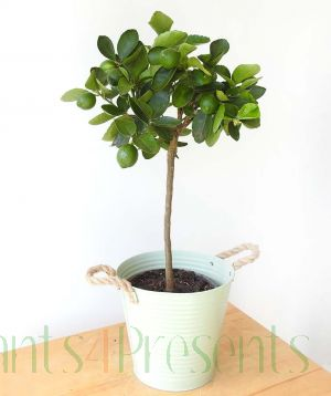 Medium Lime Tree