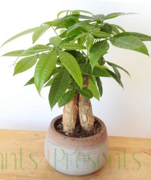 Money Tree Plants delivered