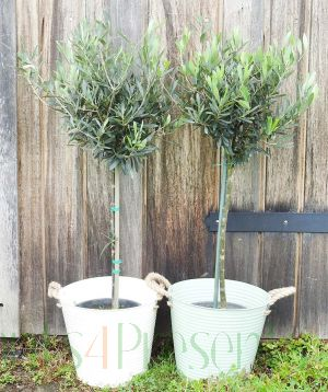 Pair of large Olive trees