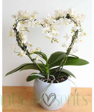 Love Heart Orchid 2020