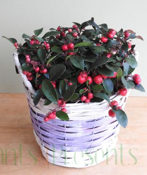 Partridge Berry in purple basket