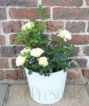 our dream patio rose