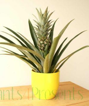 Pineapple plant in fruit