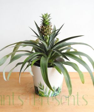 Pineapple plant in fruit