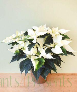 Unusual Poinsettia - White