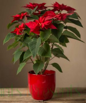 Giant Red Poinsettia Plant