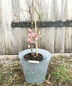 Pink Japanese Quince