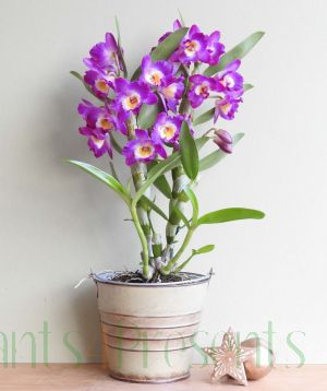 Purple Spray Orchid