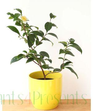 Assam Tea Plant