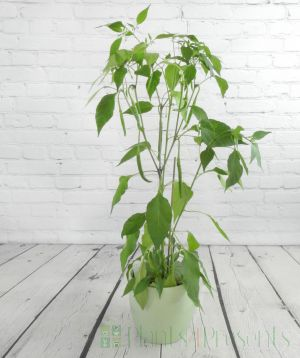 Curry Chilli Plant