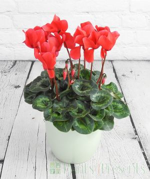 Large Red Cyclamen